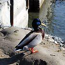 King Duck by MandaP