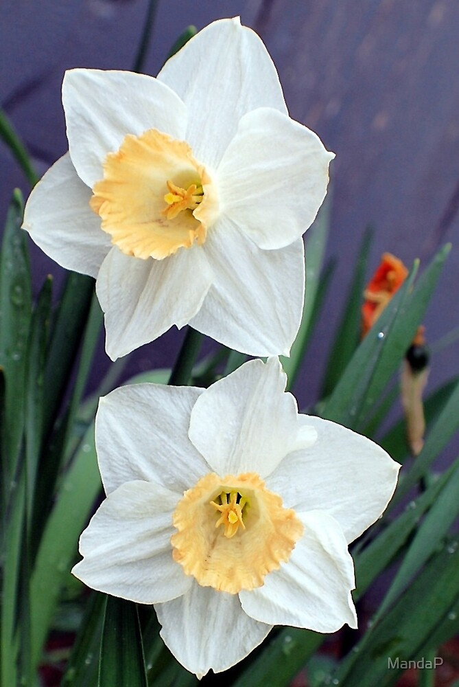 Twin Narcissus by MandaP