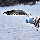 Swooping Gull by Andrew Ness - www.nessphotography.com
