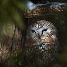 Northern Saw-whet owl by Jim Cumming