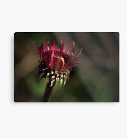 Echinacea Daybreak Metal Print