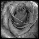 Rose Black and White by Robert Baker