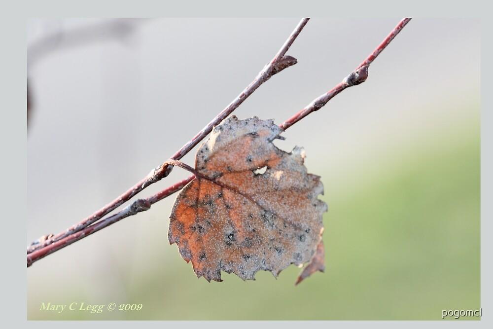 White birch leaf Betula papyrifera A by pogomcl