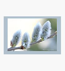 Pussywillow blooms Salix  B Photographic Print