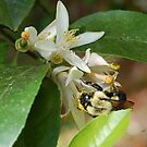 Bumblebee on Lemon Blossoms by rd Erickson