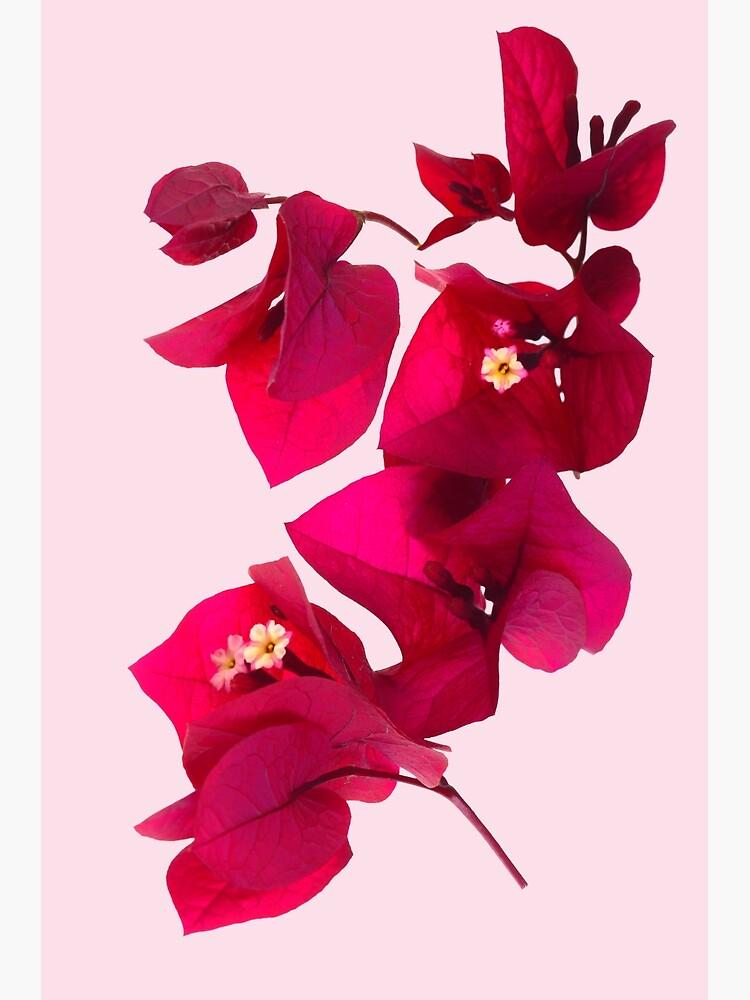 Pink Bougainvillea flower by fardad