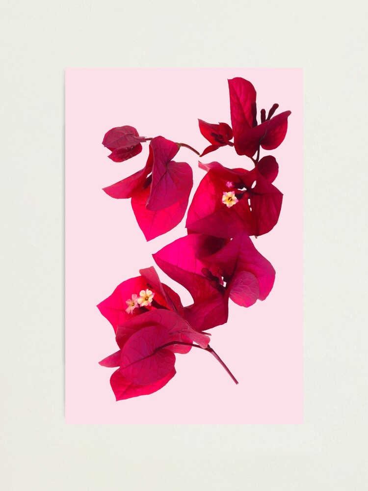 Alternate view of Pink Bougainvillea flower Photographic Print