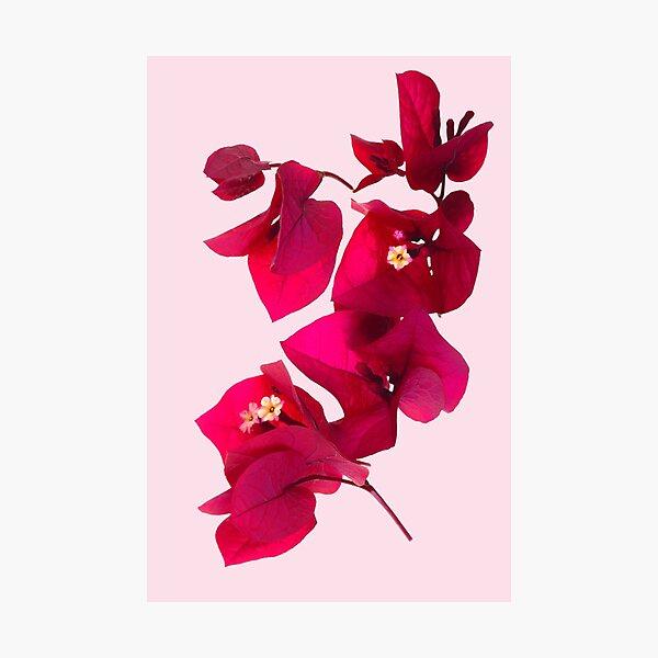 Pink Bougainvillea flower Photographic Print