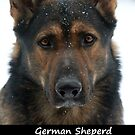 German Sheperd by Fjfichman