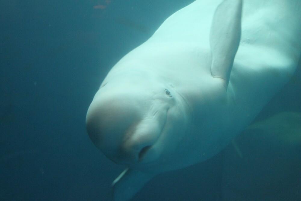 Baluga Whale by Allybally62