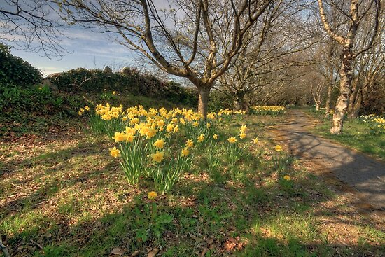 Daffodil path by John Quinn