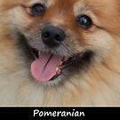 Pomeranian by Fjfichman