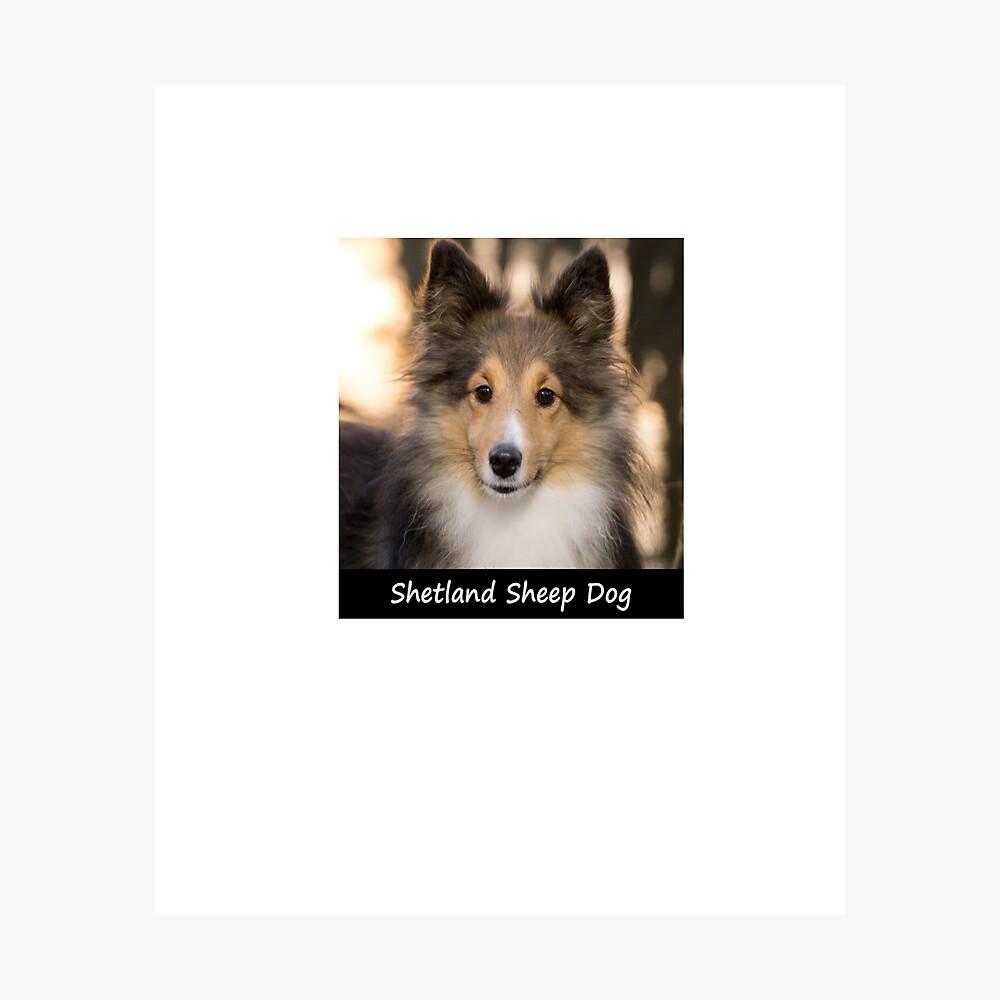 Shetland Sheep Dog Photographic Print