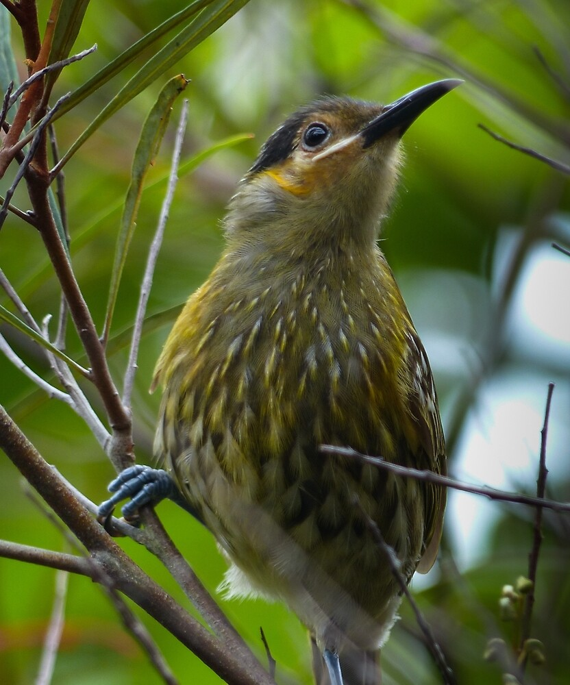 Macleay's Honeyeater by ConnieKerr