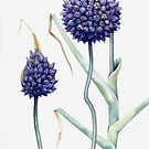 Allium ampeloprasum by Helen Lush