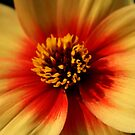 Orange Dahlia, Royal Botanical Gardens Melbourne by Leigh Penfold