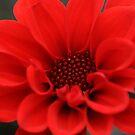 Red Dahlia, Royal Botanical Gardens Melbourne by Leigh Penfold