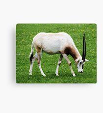 Scimitar-horned oryx 4 Canvas Print