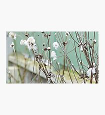 Cotton plant Photographic Print