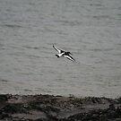 Oystercatcher in flight by Teuchter