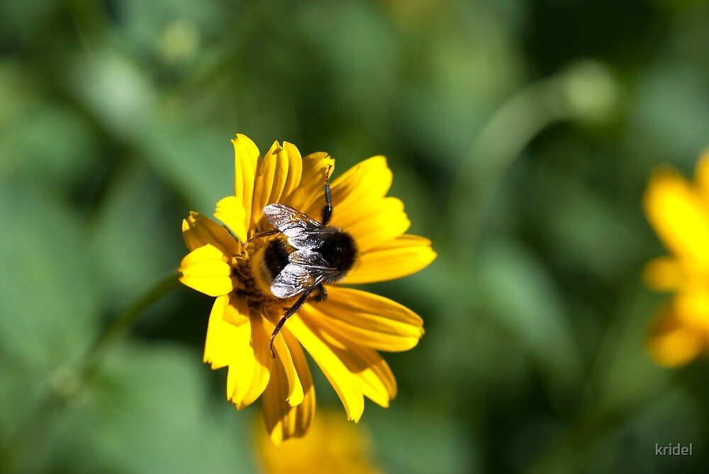 Bee on yellow flower by kridel