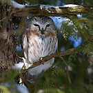 Saw-whet owl under a snow covered branch by Jim Cumming