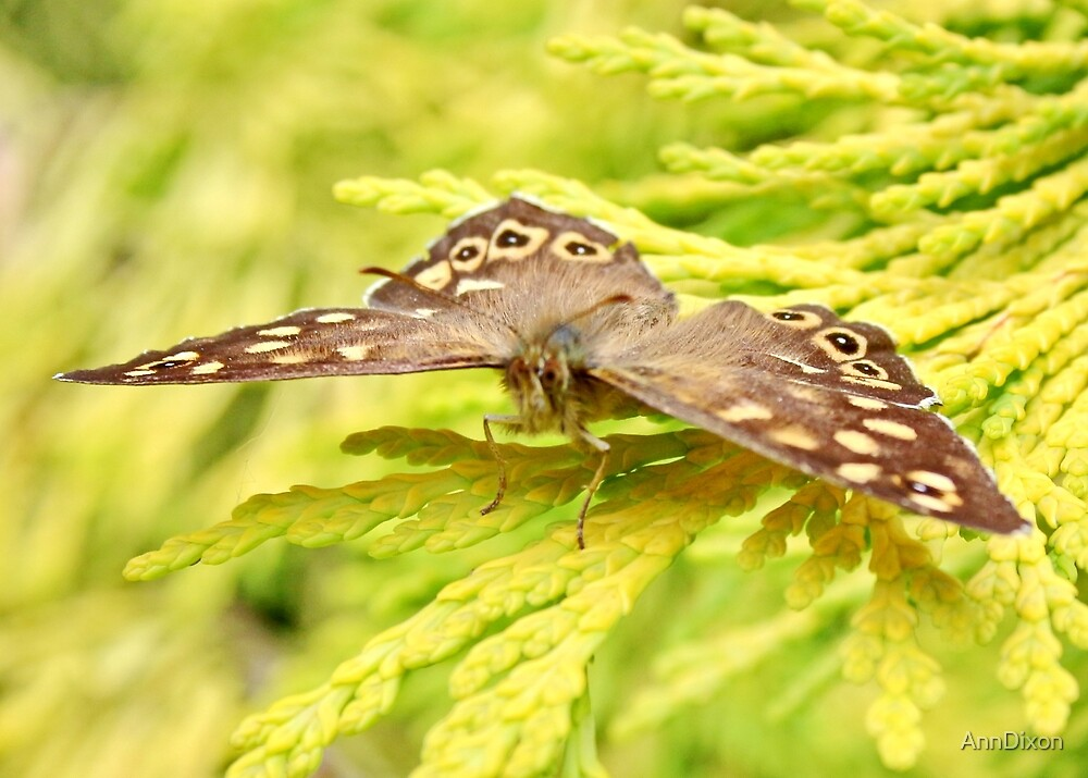 Speckled wood (Butterfly) by AnnDixon