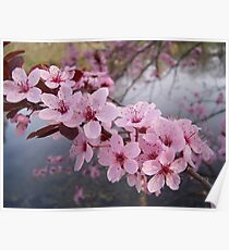 Wild Cherry Blossoms Poster
