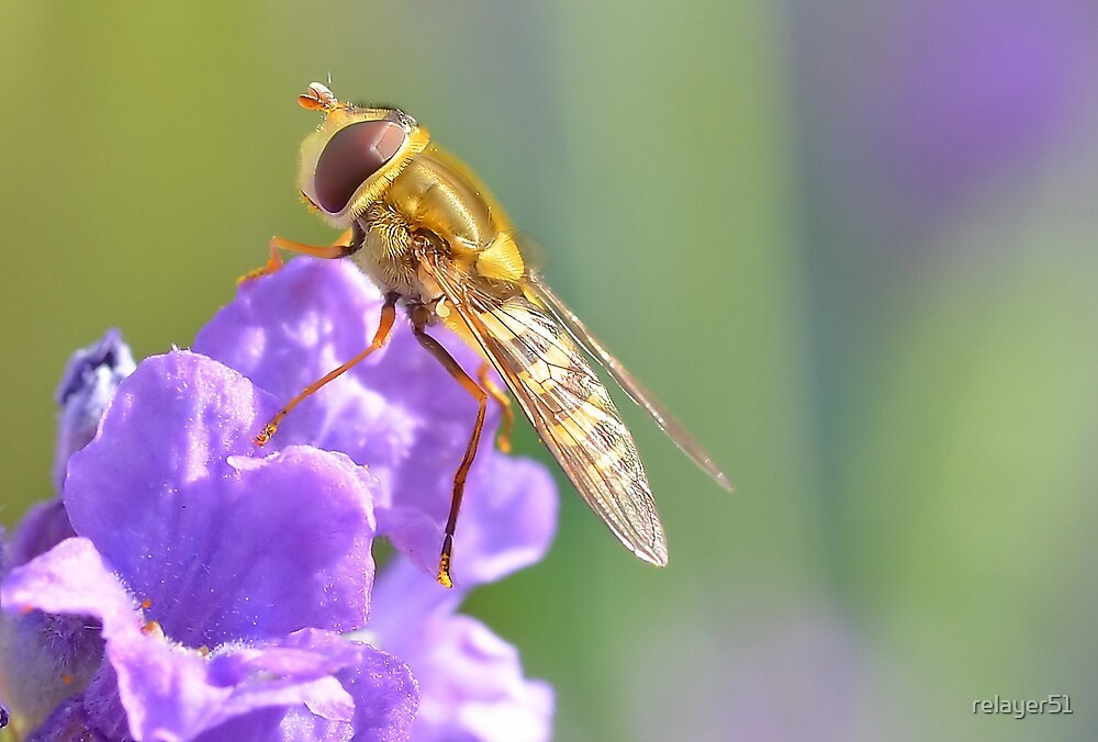 Pretty Hoverfly by relayer51