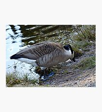 Water World - Mother Goose Grazing Photographic Print