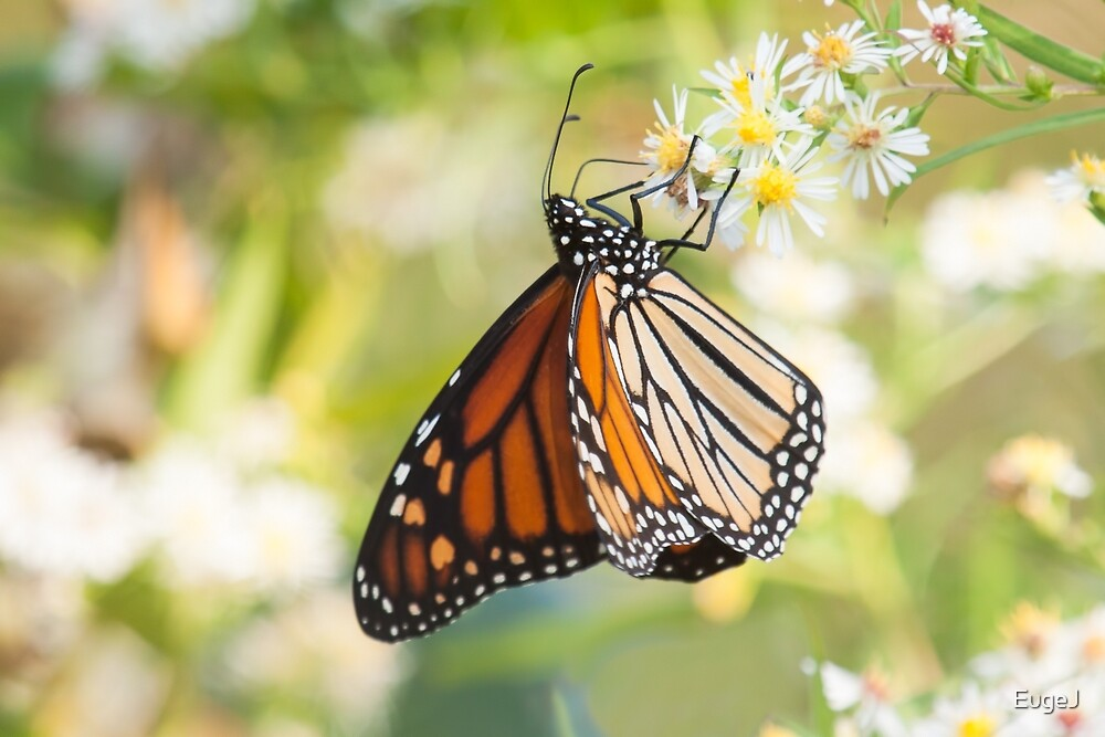 Madame Butterfly by EugeJ