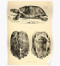 The Reptiles of British India by Albert C L G Gunther 1864 0481 Geormyda Grandis Turtle Poster