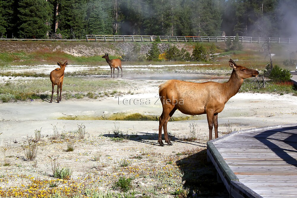 Wildlife in West Thumb Geyser Basin, Yellowstone NP by Teresa Zieba