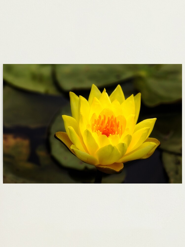 Alternate view of Yellow water lily flower Photographic Print