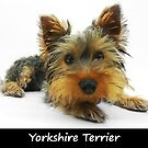 Yorkshire Terrier by Fjfichman