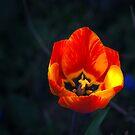 Tulip by Sue Frank