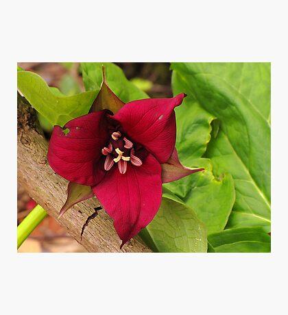 Trillium Garden in the Woods Photographic Print