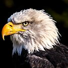 Bald Eagle by Fjfichman