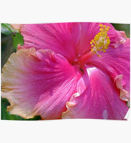 Delicious Hot Pink Hibiscus Poster