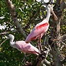 Mangrove Spoonbills by Karen  Moore