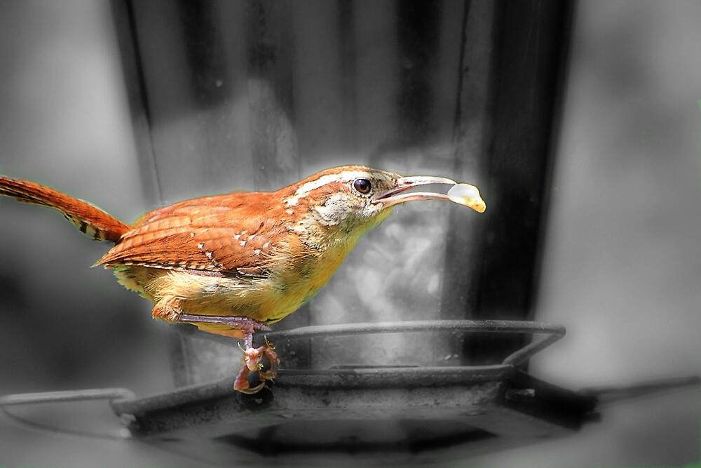 Carolina Wren Bird by Jill Bernier