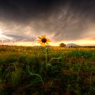 Sunflower Sunset by Bob Larson