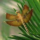 Dragonfly 1 by John Caddell