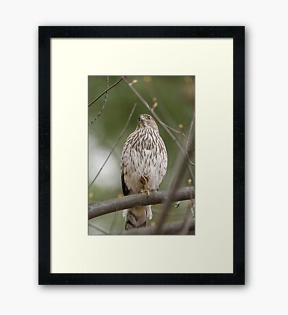 Coopers Hawk on Guard Framed Print