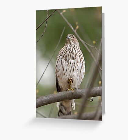 Coopers Hawk on Guard Greeting Card