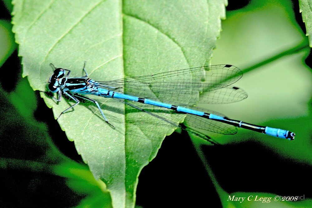 Male Azure Damselfly coenagrion puella on elderberry leaf by pogomcl