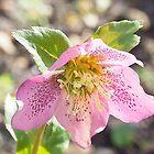 A Pretty Hellebore Flower............Lyme,Dorset UK by lynn carter