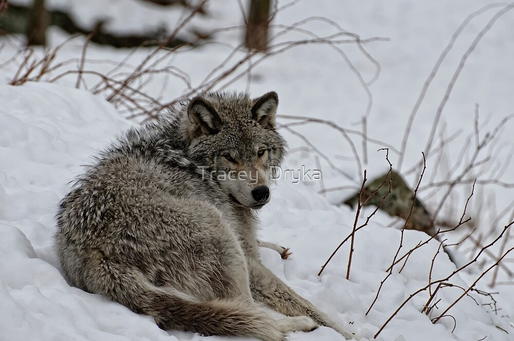 Timberwolf - Parc Omega, Montebello by Tracey  Dryka