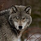 Eye Contact  -  Parc Omega, Montebello PQ by Tracey  Dryka