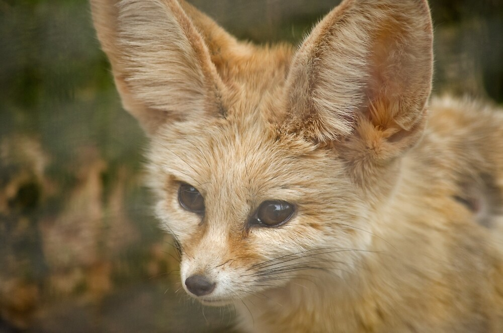 Fennec Fox by Fjfichman